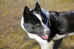 Η φυλή η ανατολικο-ευρωπαϊκή Λάικα σκυλιών Στοκ Εικόνες