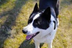 Η φυλή η ανατολικο-ευρωπαϊκή Λάικα σκυλιών Στοκ φωτογραφία με δικαίωμα ελεύθερης χρήσης