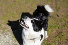 Η φυλή η ανατολικο-ευρωπαϊκή Λάικα σκυλιών Στοκ εικόνες με δικαίωμα ελεύθερης χρήσης
