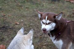 Η φυλή σκυλιών γεροδεμένη για έναν περίπατο λικνίζει σε ένα άλλο σκυλί Στοκ Εικόνες