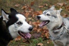 Η φυλή σκυλιών γεροδεμένη για έναν περίπατο λικνίζει σε ένα άλλο σκυλί Στοκ Φωτογραφίες