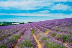Η φυσική άποψη ανθίζοντας φωτεινό πορφυρό Lavender ανθίζει τον τομέα μέσα Στοκ Φωτογραφίες