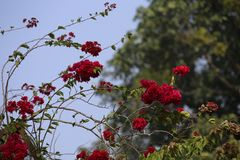 η φυσική φωτογραφία λουλουδιών ομορφιάς για όλα τα τριαντάφυλλα κρίνων που διαβάστηκαν αυξήθηκε κίτρινος για τον ειδικό ουρανό με Στοκ εικόνα με δικαίωμα ελεύθερης χρήσης