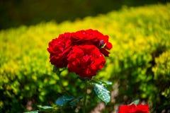 Η φυτεία με τριανταφυλλιές που βρίσκεται στην Ισπανία Στοκ εικόνα με δικαίωμα ελεύθερης χρήσης