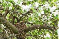 Η φωλιά στον κλάδο δέντρων με τα πουλιά μωρών καλλιεργεί την άνοιξη στοκ φωτογραφίες με δικαίωμα ελεύθερης χρήσης