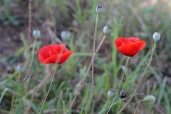 Η φωτεινή κόκκινη παπαρούνα ανθίζει την άνοιξη κοντά Στοκ Εικόνα