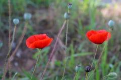 Η φωτεινή κόκκινη παπαρούνα ανθίζει την άνοιξη κοντά Στοκ Εικόνες