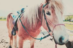 Η φωτογραφία απεικονίζει το όμορφο καλό καφετί και άσπρο άλογο που κοιτάζει στο α στοκ εικόνες