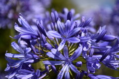 Η φωτογραφία κινηματογραφήσεων σε πρώτο πλάνο του κρίνου του Νείλου, κάλεσε επίσης το αφρικανικό μπλε λουλούδι κρίνων Στοκ φωτογραφία με δικαίωμα ελεύθερης χρήσης