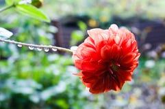Η φωτογραφία κινηματογραφήσεων σε πρώτο πλάνο του λουλουδιού με τις πτώσεις της βροχής Στοκ Φωτογραφίες