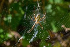 Η φωτογραφία των αράχνη-σφηκών Στοκ Εικόνα