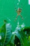 Η φωτογραφία των αράχνη-σφηκών Στοκ Εικόνες