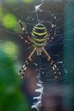 Η φωτογραφία των αράχνη-σφηκών Στοκ Φωτογραφία
