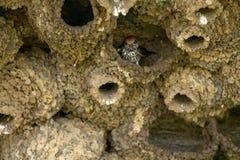 Η φωλιά λάσπης καταπίνει το πουλί Στοκ εικόνα με δικαίωμα ελεύθερης χρήσης