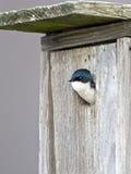 η φωλιά εσωτερικών κιβωτίων καταπίνει το δέντρο Στοκ φωτογραφία με δικαίωμα ελεύθερης χρήσης