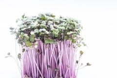 Η φύση βλαστάνει το κόκκινο λάχανο σε ένα άσπρο υπόβαθρο στοκ φωτογραφία