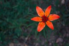 Η φύση της Άπω Ανατολής ανθίζει τον άνθιση-κρίνο Στοκ Φωτογραφίες