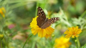 Η φύση της πεταλούδας με το λουλούδι απόθεμα βίντεο