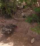Η φύση των πουλερικών στο χωριό στοκ εικόνα