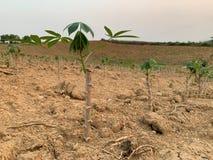 Η φύτευση των λαστιχένιων δέντρων βλαστάνει, ανάπτυξη, πρόοδος στοκ φωτογραφία με δικαίωμα ελεύθερης χρήσης