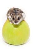 Η χάμστερ κάθεται στο μήλο Στοκ φωτογραφία με δικαίωμα ελεύθερης χρήσης