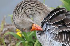 η χήνα καθαρίζει τα φτερά στοκ εικόνες