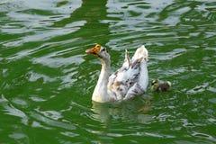 Η χήνα και το χηνάρι μητέρων κολυμπούν στη λίμνη στοκ φωτογραφίες με δικαίωμα ελεύθερης χρήσης