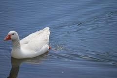 Η χήνα κολυμπά στη λίμνη στοκ εικόνες