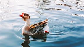 Η χήνα κολυμπά στη λίμνη Στοκ εικόνες με δικαίωμα ελεύθερης χρήσης