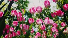 Η χαμηλή γωνία πυροβόλησε: Οι όμορφες ρόδινες τουλίπες ταλαντεύονται στον αέρα Τα πέταλα των λουλουδιών ανάβουν τον ήλιο απόθεμα βίντεο