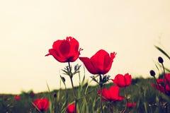Η χαμηλή φωτογραφία γωνίας των κόκκινων παπαρουνών ενάντια στον ουρανό με το φως εξερράγη τον τρύγο που φιλτραρίστηκε και που τον Στοκ Φωτογραφίες