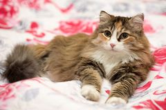 Η χαριτωμένη γάτα βρίσκεται Στοκ Φωτογραφίες
