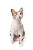 Η χαριτωμένη γάτα κάθεται σε ένα άσπρο υπόβαθρο και ανατρέχει στοκ φωτογραφία με δικαίωμα ελεύθερης χρήσης