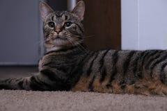 Η χαριτωμένη γάτα στο εσωτερικό με έκπληκτος κοιτάζει στοκ φωτογραφία