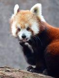 Η χαριτωμένη κόκκινη Panda που γλείφει το πόδι του Στοκ Φωτογραφία