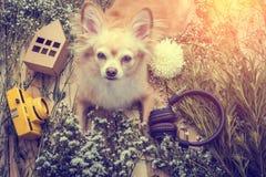 Η χαριτωμένη συνεδρίαση σκυλιών chihuahua καφετιά χαλαρώνει με τη κάμερα λουλουδιών και είναι Στοκ φωτογραφία με δικαίωμα ελεύθερης χρήσης