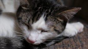 Η χαριτωμένη τιγρέ γάτα κοιμάται στο δωμάτιο, μάτια ανοίγματος και χασμουρητό, κινηματογράφηση σε πρώτο πλάνο απόθεμα βίντεο