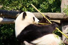 Η χαλαρωμένη γιγαντιαία Panda που τρώει το μπαμπού Στοκ Φωτογραφίες