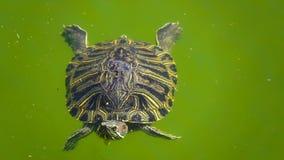 Η χελώνα είναι στην πράσινη λίμνη φιλμ μικρού μήκους