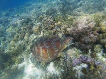 Η χελώνα θάλασσας βουτά στο seabottom Ζωική υποβρύχια φωτογραφία κοραλλιογενών υφάλων Στοκ Εικόνες