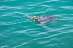 Η χελώνα θάλασσας προεξέχει το κεφάλι της από το νερό στοκ εικόνες