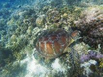 Η χελώνα θάλασσας τρώει το φύκι Ζωική υποβρύχια φωτογραφία κοραλλιογενών υφάλων Το ναυτικό υποθαλάσσιος Στοκ Εικόνες