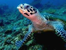 Η χελώνα θάλασσας Hawksbill στο πάρκο Tunku Abdul Rahman, Kota Kinabalu, Sabah Μαλαισία Μπόρνεο στοκ φωτογραφίες με δικαίωμα ελεύθερης χρήσης