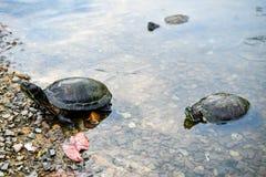 Η χελώνα και τερραπίνη στοκ φωτογραφία