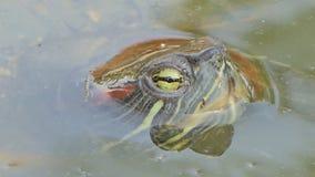Η χελώνα κολυμπούσε στη λίμνη απόθεμα βίντεο