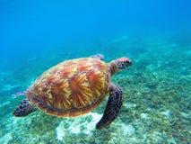Η χελώνα πράσινης θάλασσας με το καφετί κοχύλι κολυμπά υποβρύχιο Τροπική φύση του εξωτικού νησιού Στοκ Φωτογραφίες