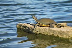 Η χελώνα λάσπης κάνει ηλιοθεραπεία σε έναν μεγάλο βράχο Στοκ Φωτογραφίες