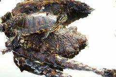 Η χελώνα εξετάζει με Στοκ Φωτογραφία