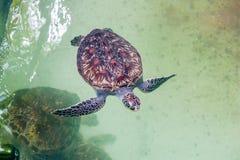 Η χελώνα θάλασσας κολυμπά στο ενυδρείο επάνω από την όψη στοκ εικόνα με δικαίωμα ελεύθερης χρήσης