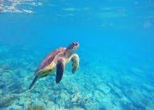 Η χελώνα πράσινης θάλασσας κολυμπά στη λιμνοθάλασσα Στοκ Εικόνες